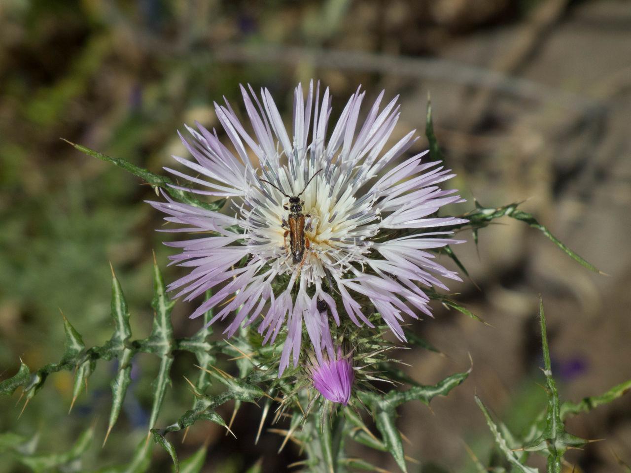 Blooming Botany Cardo Flower Insetto Nature Sardegna Sardinia