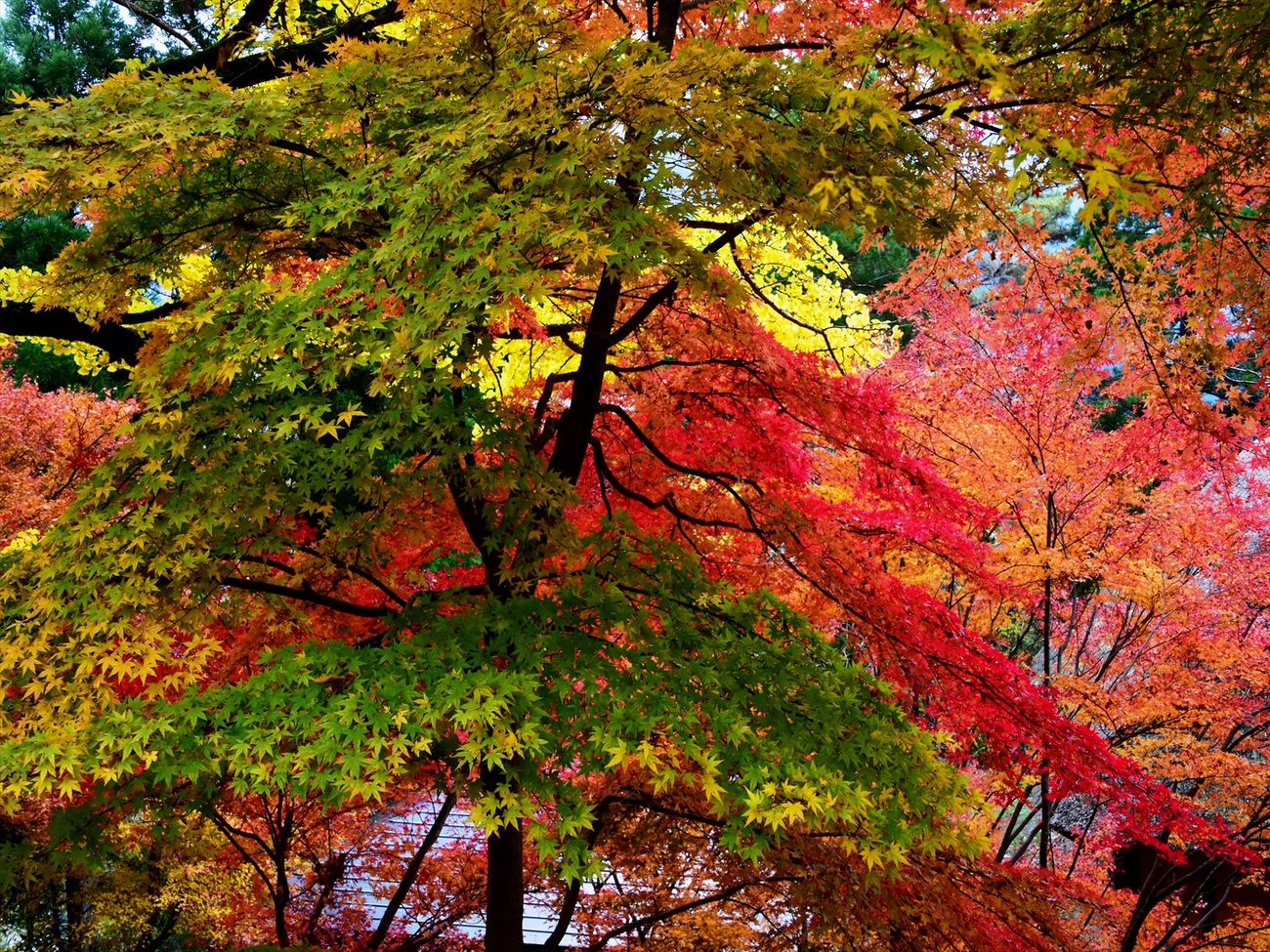 Backgrounds Beauty In Nature Close-up D7200 Day Growth Nature Nikon D7200 No People Outdoors Tree 五家荘 平家の里 紅葉 紅葉狩り