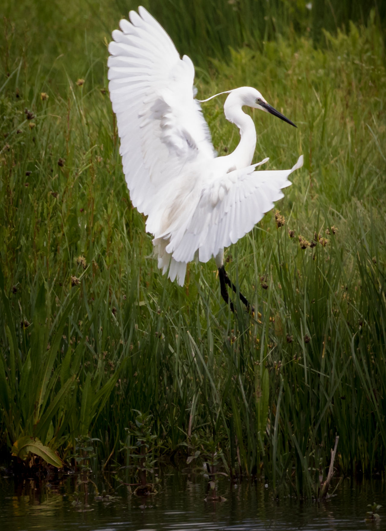 Egret spotted at RSPB Rainham Marshes. This one was being chased by parent birds from a nearby nest 100-400 Mm Animal Themes Animal Wildlife Animals In The Wild Beauty In Nature Bird Canon Canon5dmarkiv Canonphotography Canonuk Day Egret Grass Great Egret Lake Liveforthestory Nature No People One Animal Outdoors Rainham Marshes Spread Wings Water Waterfront White Color