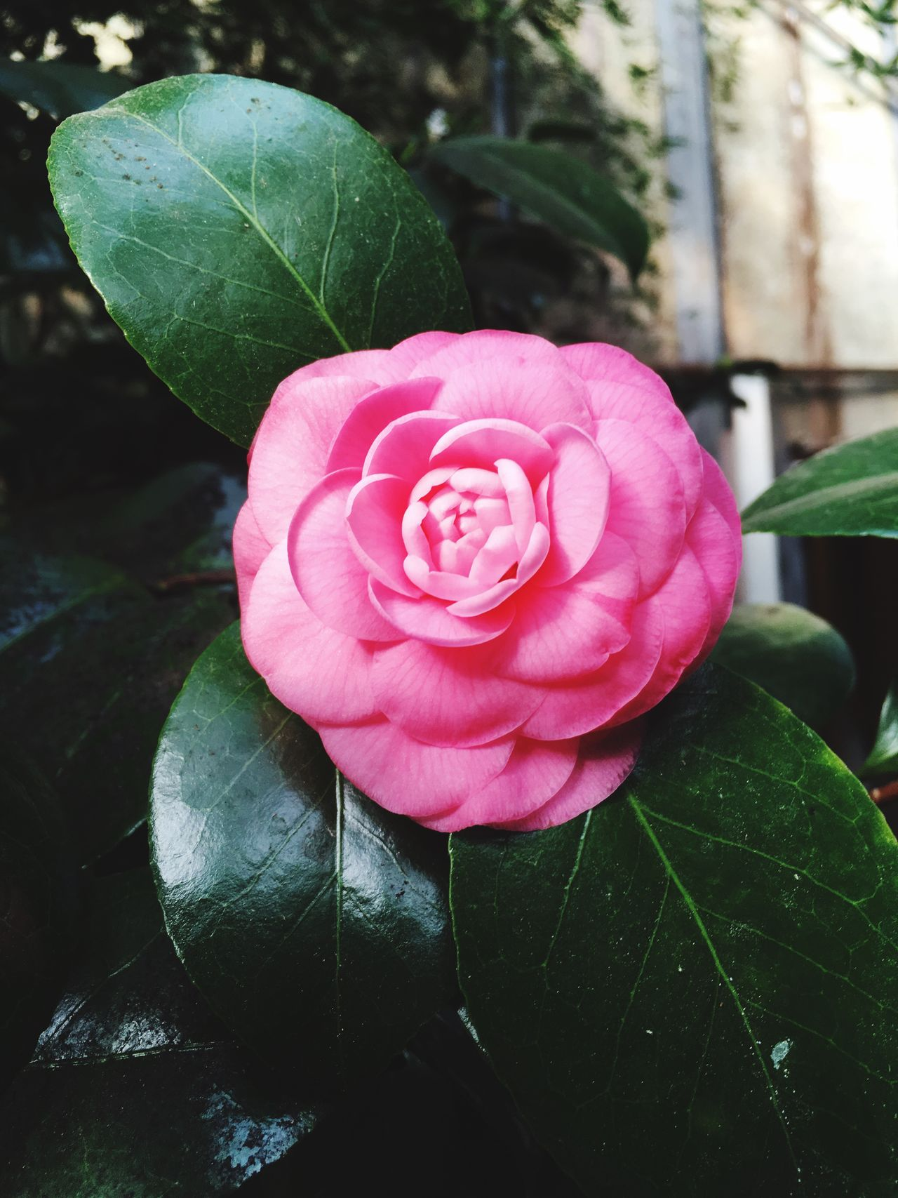 Leaf Flower Petal Nature Fragility Plant Growth Flower Head Rose - Flower Beauty In Nature Freshness Pink Color Blooming Close-up No People Day Outdoors Camellia