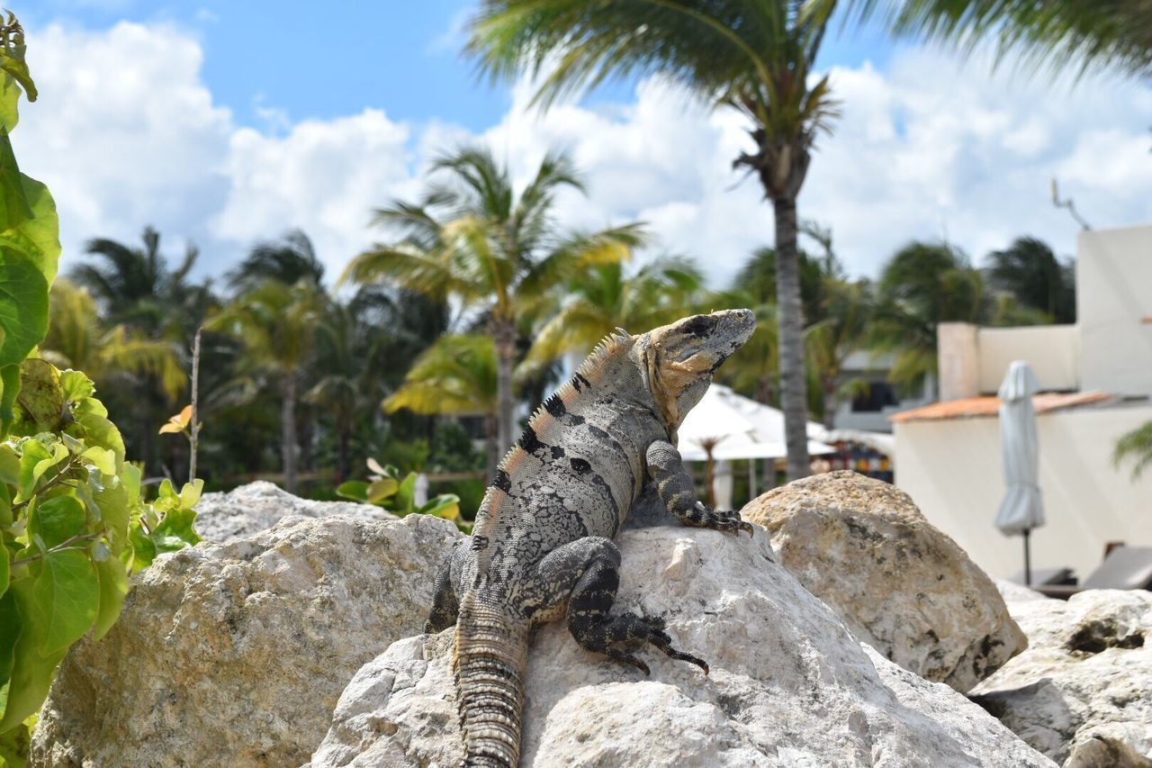 Sommergefühle Reptile Lizard Animals In The Wild Iguana Animal Themes Animal Wildlife One Animal Nature Outdoors Day No People Tree Palm Tree Sky Close-up