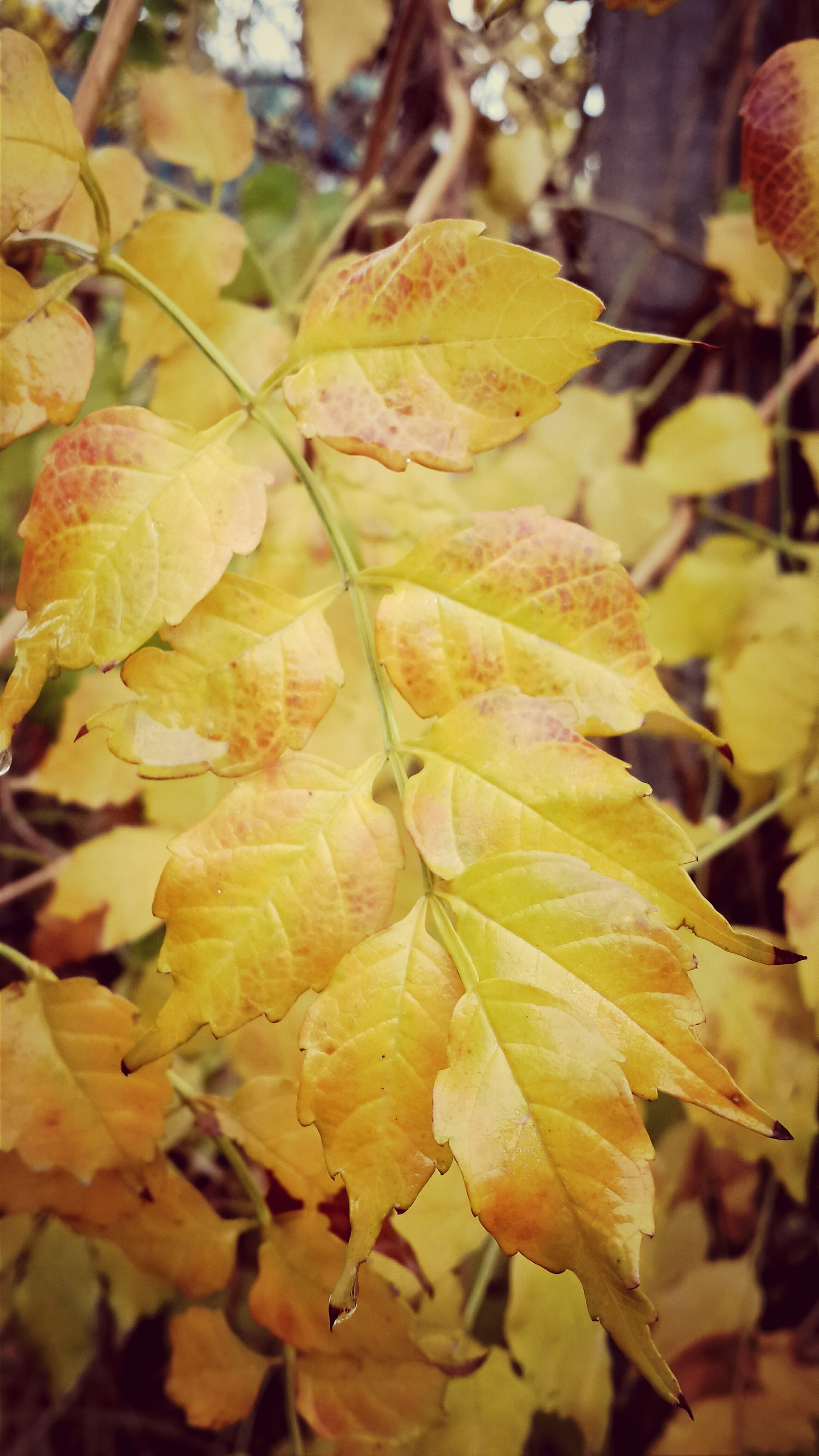 leaf, autumn, close-up, leaves, focus on foreground, season, growth, change, nature, yellow, beauty in nature, leaf vein, selective focus, fragility, branch, outdoors, tranquility, natural pattern, day, dry