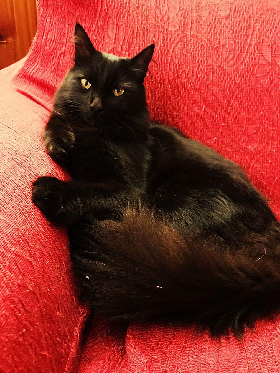 Domestic Cat Feline Animal Themes Cats Of EyeEm Black Cat
