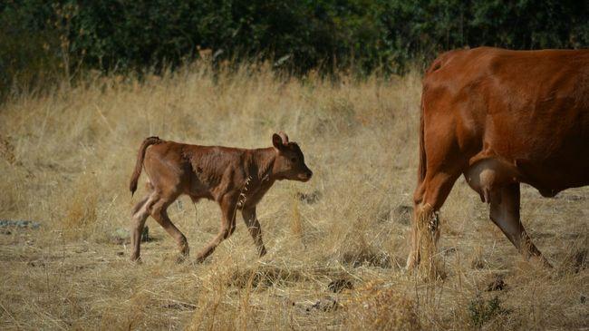 Staying close to mum. Calf Cows Baby Animals Animals Cattle Farm Animals Bovine Nikon D5200 Sardegna Bolotana