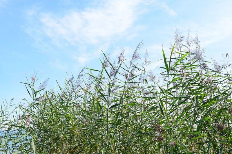 Growth Sky Plant Nature Day No People Outdoors Grass Beauty In Nature Freshness Close-up Schilf Bodenseebilder