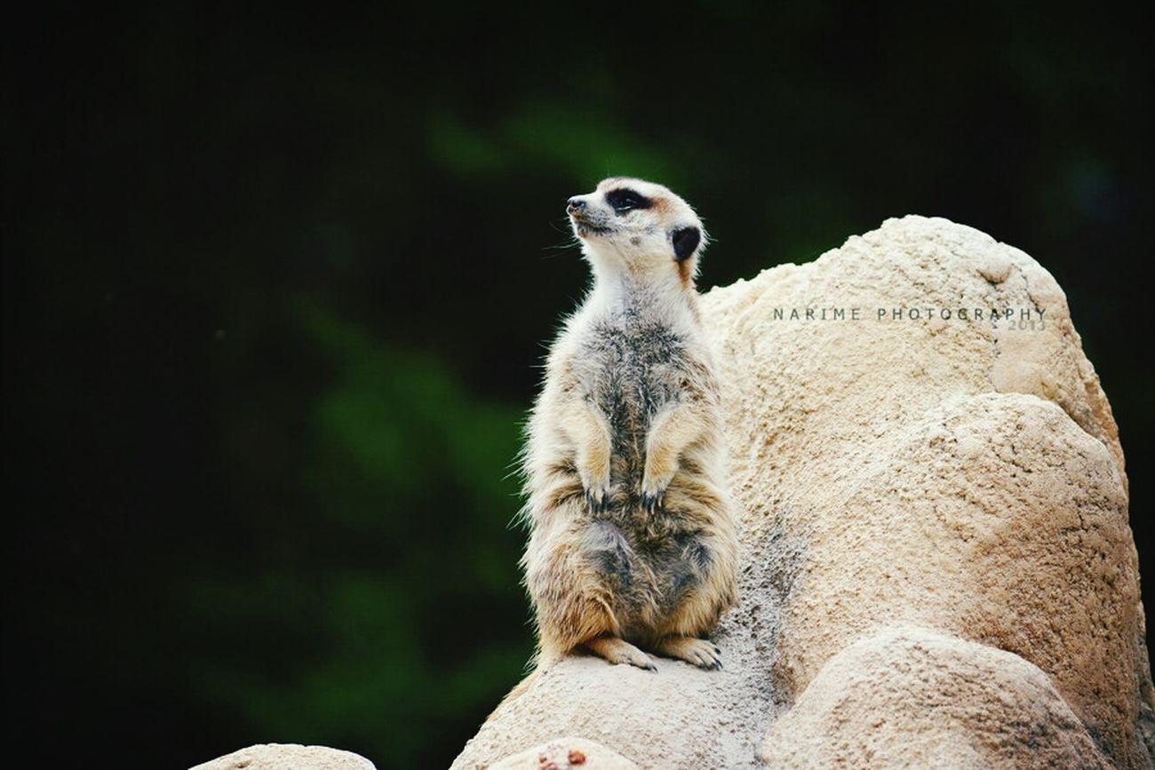 Meerkat Animal Cute Narime