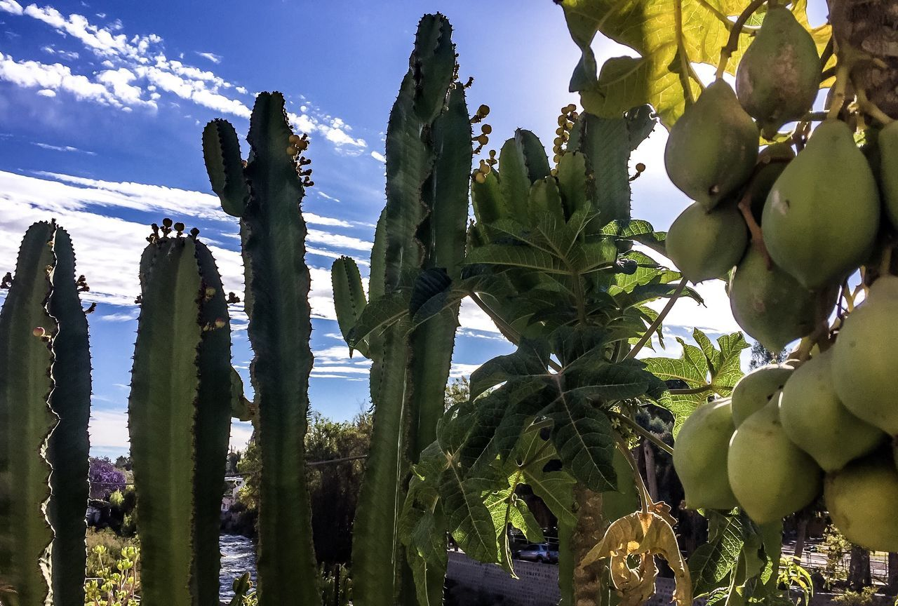 Growth Plant Leaf Cactus Sky Growing Nature Green Color Beauty In Nature Blue Tranquility Botany Outdoors (null)Green Day Cloud - Sky (null)Sun Papaya Arequpeña Papaya EyeEm Best Shots - Landscape EyeEm Gallery EyeEm Sunset_collection