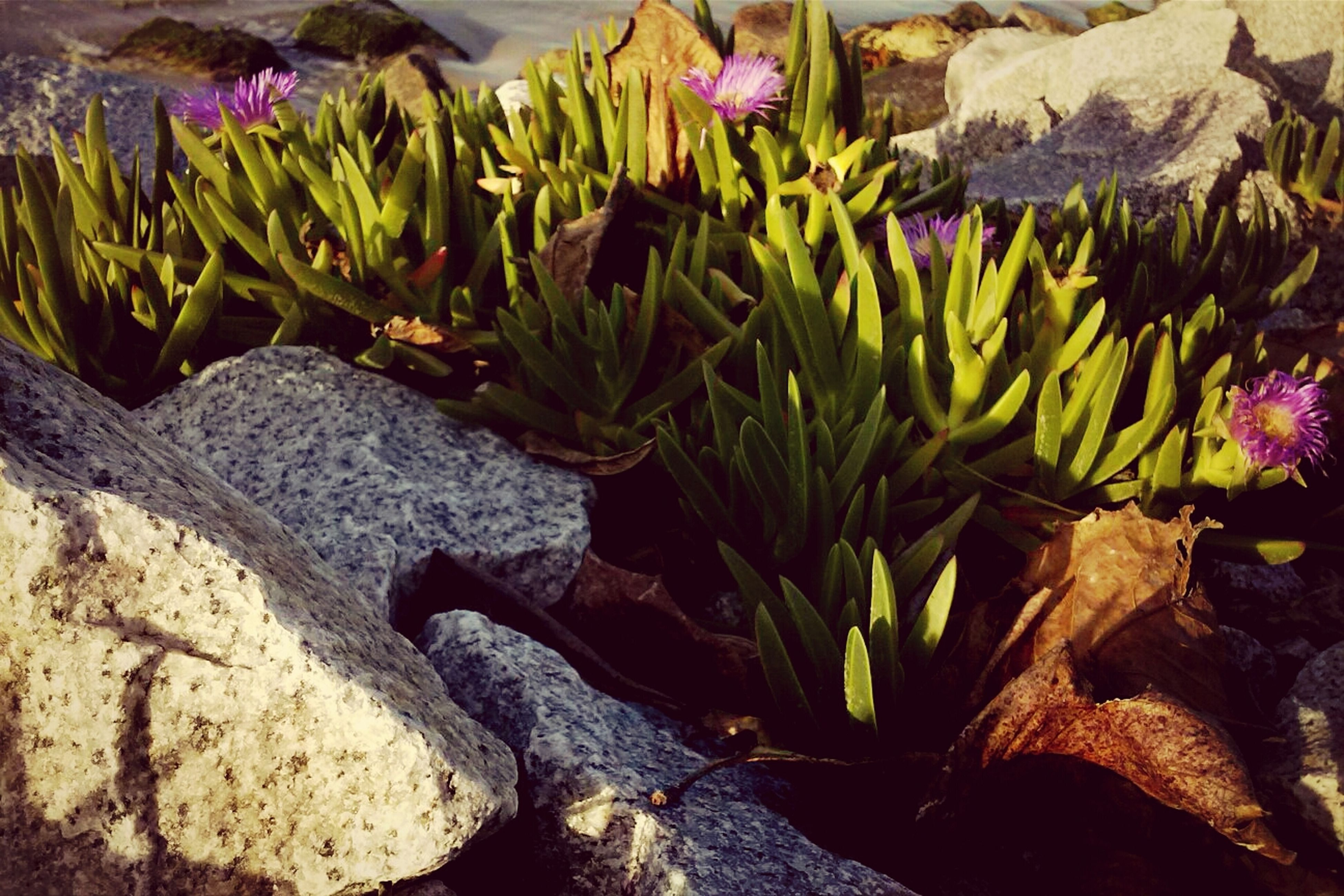 flower, plant, growth, fragility, freshness, petal, beauty in nature, nature, purple, leaf, rock - object, close-up, outdoors, blooming, day, high angle view, no people, flower head, sunlight, field