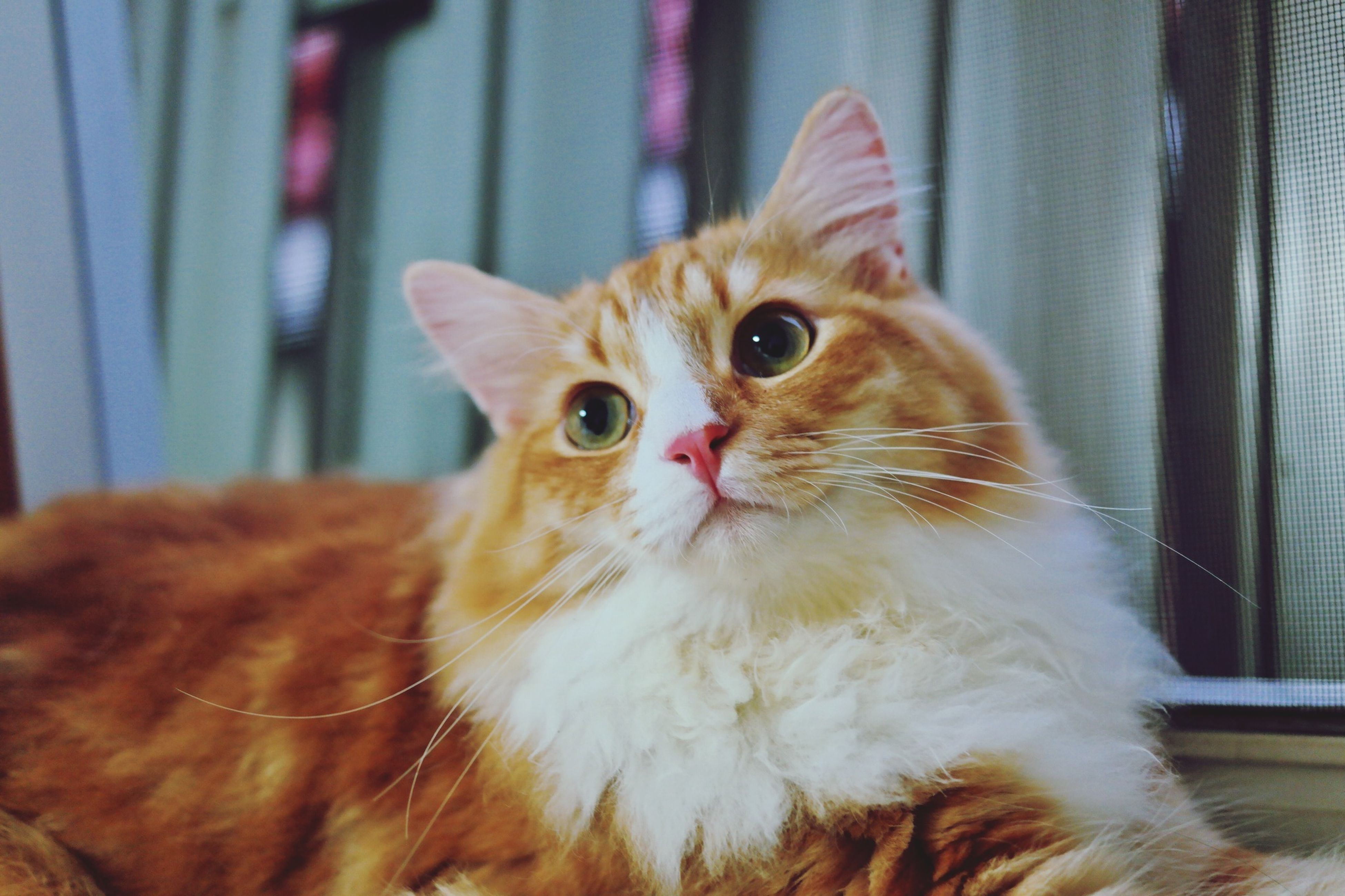 domestic cat, pets, domestic animals, one animal, animal themes, cat, feline, indoors, mammal, whisker, close-up, focus on foreground, portrait, looking away, animal head, home interior, alertness, no people, selective focus