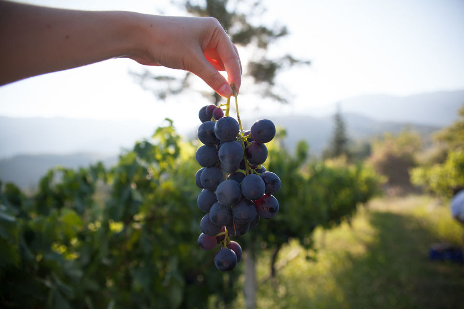 Beautiful stock photos of wine, Agriculture, Bunch, Close-Up, Day