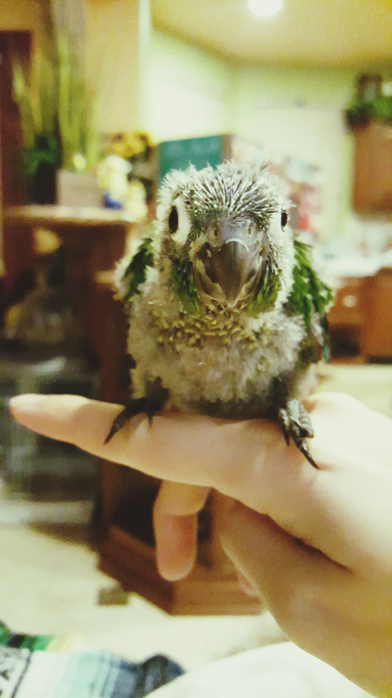 Puffy's first perch on my finger <3 Still clumsy but very cute Hanging Out Check This Out Cheese! Enjoying Life Greencheekconure Cutepets Cute Baby Conure Birds_collection Bird Photography Birds Petlove  Pet Life  Pet Portrait Petlover Pet Love Pets Corner Pet Photography  Cute♡ Cuteness