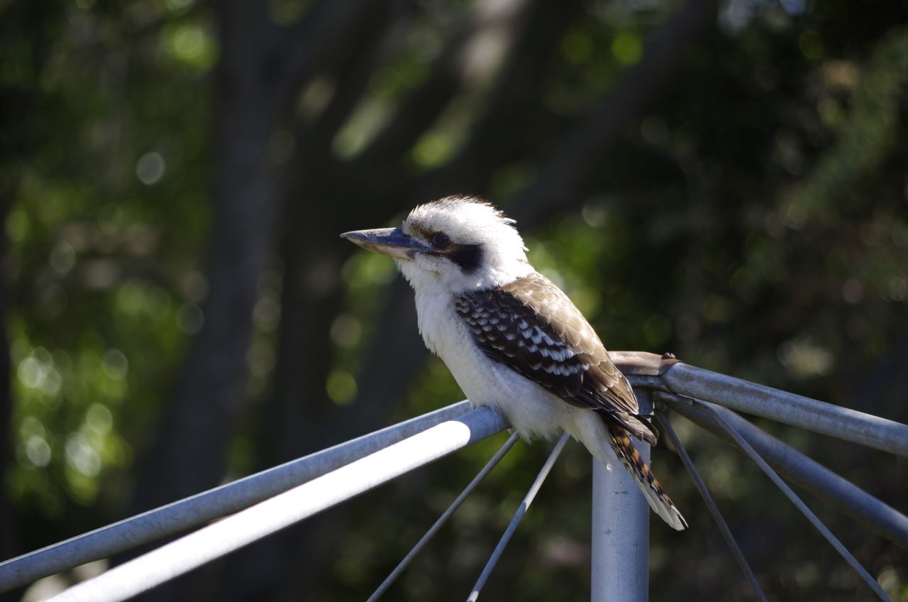 Taking Photos Enjoying Life Wild Birds Kookaburras MyBackGarden No People Outdoors Built Structure Day Beauty In Nature 3XSPUnity Australia Adapted To The City