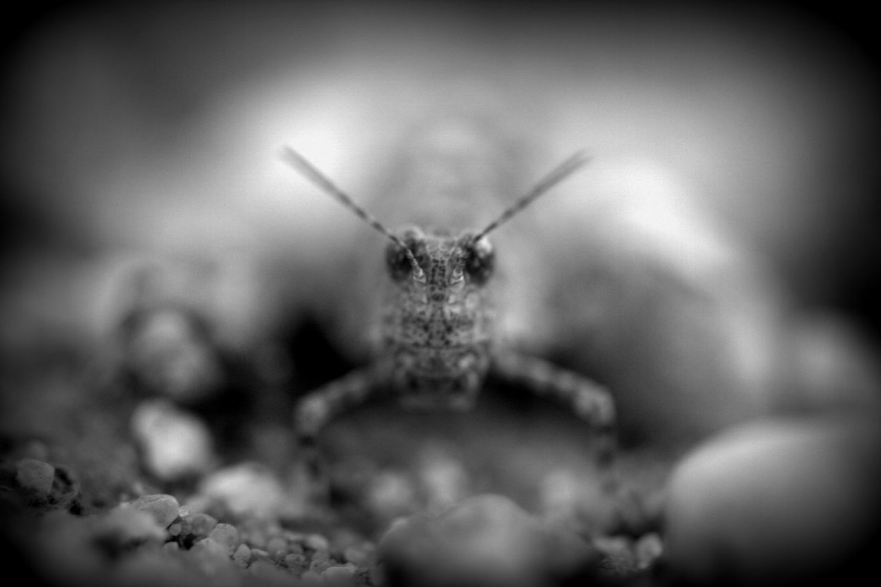 Animal Themes Animals In The Wild Black & White Blue-winged Grasshopper Close-up Insect One Animal Portrait The Great Outdoors - 2017 EyeEm Awards