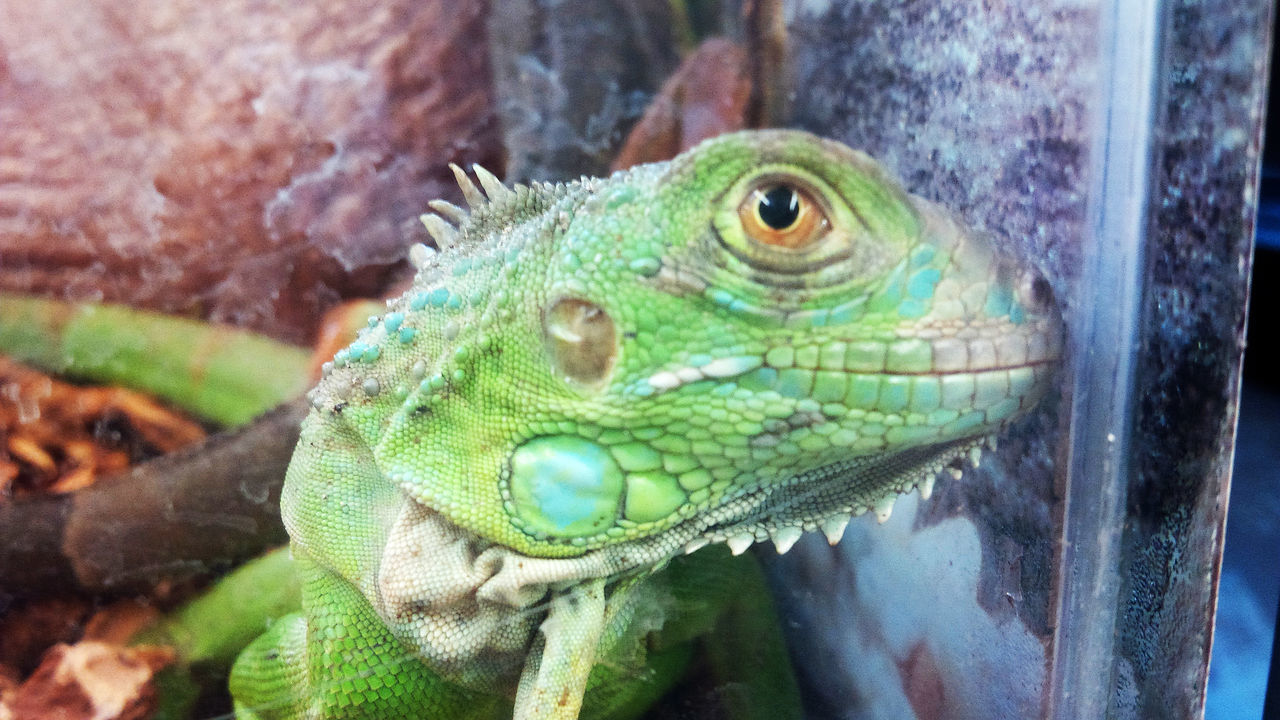 Animal Themes Animal Wildlife Animals In The Wild Chameleon Close-up Day Focus On Foreground Green Color Iguana Nature No People One Animal Outdoors Reptile