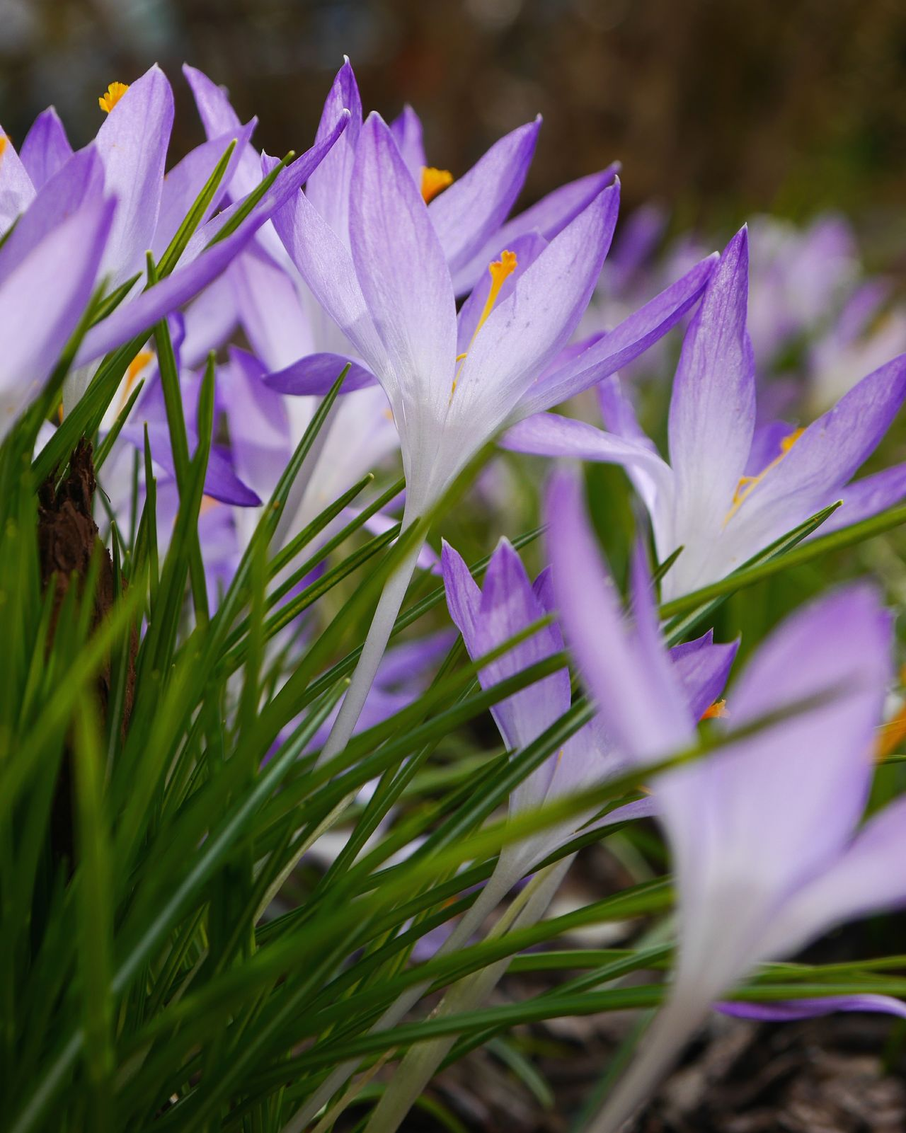 Some Krokus... Spring has sprung... Purple Flower Growth Nature Close-up Beauty In Nature Plant Freshness Fragility Flower Head Outdoors Grass No People Day Crocus