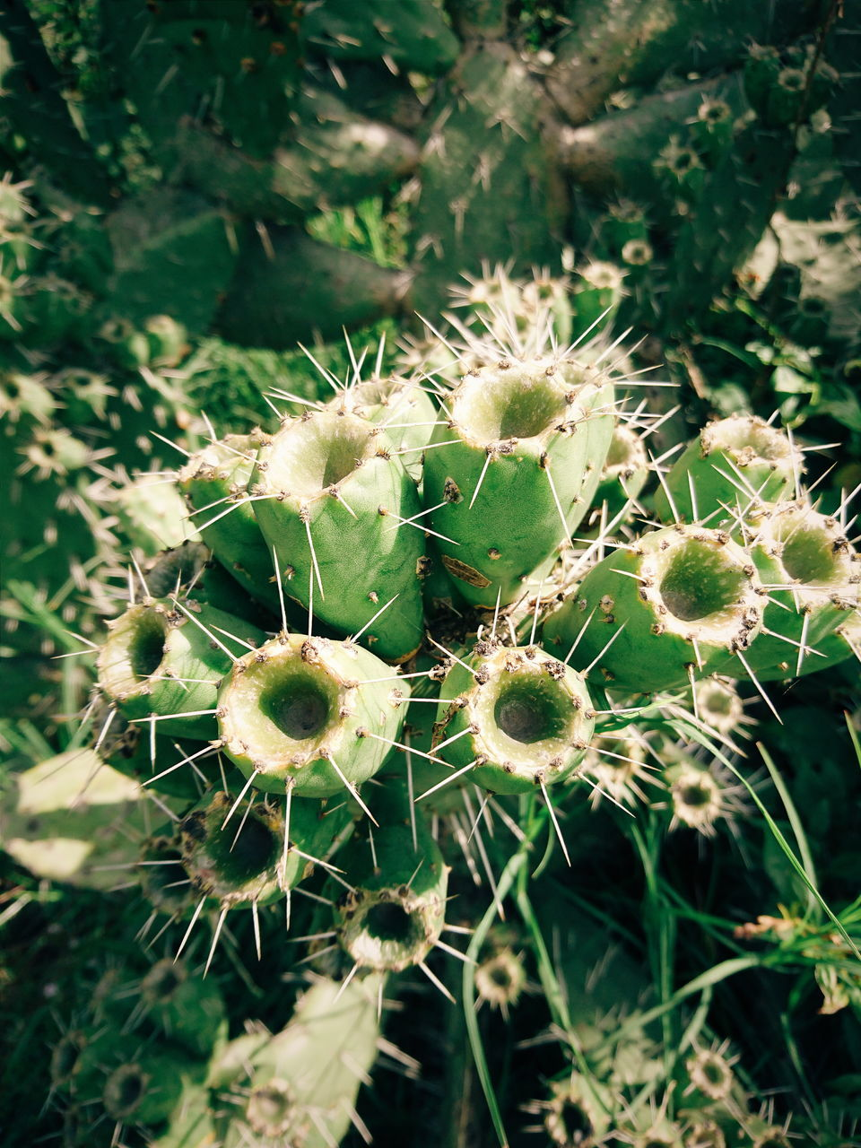 cactus, growth, thorn, nature, plant, spiked, day, outdoors, no people, green color, focus on foreground, uncultivated, close-up, beauty in nature, prickly pear cactus, fragility, flower, freshness, flower head