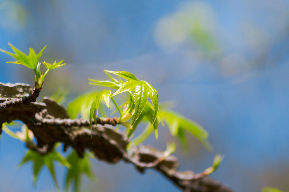 Green leaves of a sweetgum/ amber tree Amber Amber Tree Amberbaum Beauty In Nature Branches Close-up Freshness Green Green Color Green Leaf Green Leaves Growing Growth Leaves Liquidambar Nature Outdoor Plants Spring Summer Sweetgum