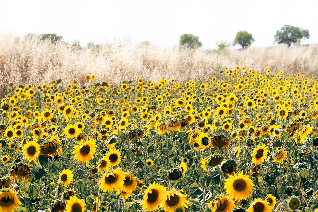 Sunflower field in Provence Agriculture Beauty In Nature Close-up Day Dry Farm Field Flower Flower Head Fragility Freshness Growth Hot Landscape Nature No People Outdoors Plant Provence South Of France Summer Sunflower Sunflower Field Yellow
