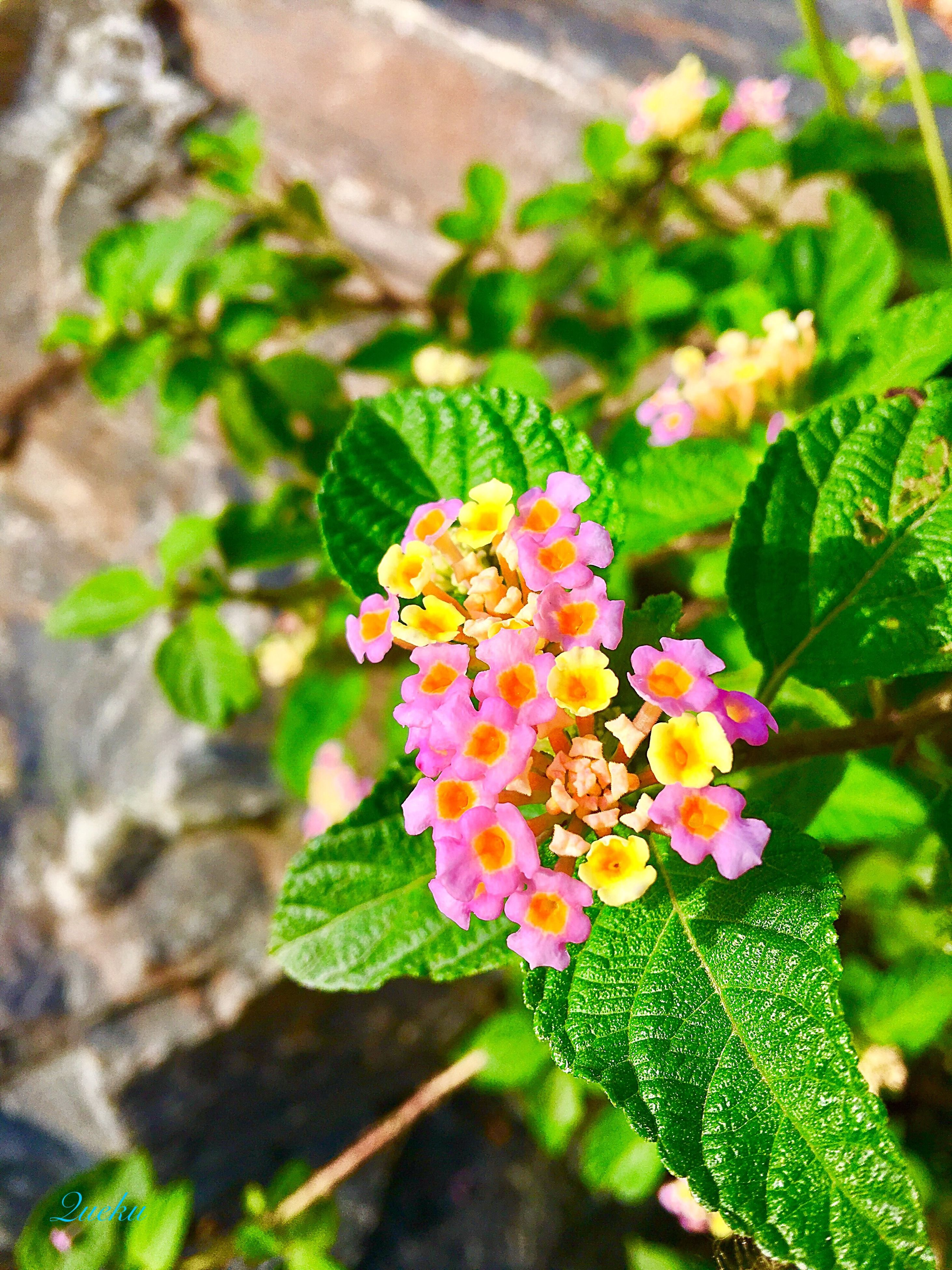 leaf, beauty in nature, growth, plant, nature, green color, day, freshness, focus on foreground, outdoors, lantana camara, flower, no people, fragility, close-up, flower head, blooming