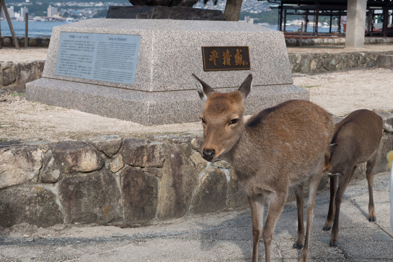 Animal Animal Themes Countryside Day Deer Hiroshima Hiroshima -Miyajima Hiroshima,japan Looking At Camera Mammal Miyajima No People One Animal Outdoors Portrait