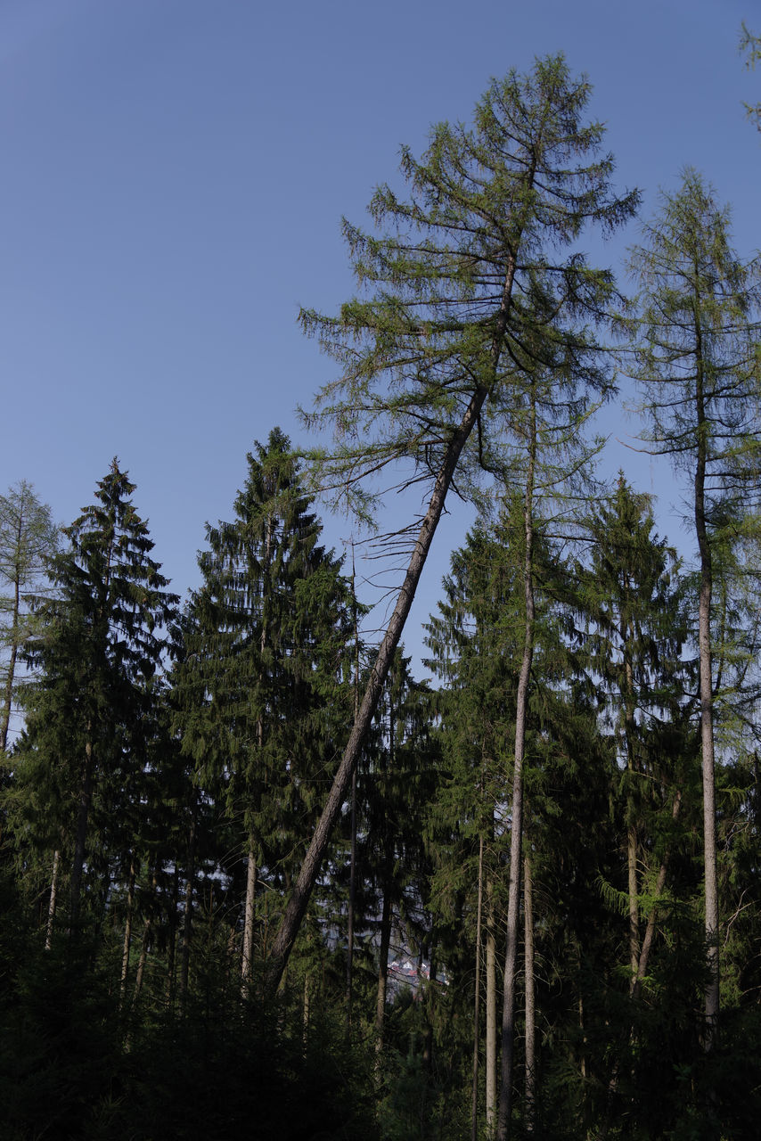 tree, forest, growth, nature, low angle view, pine tree, no people, day, beauty in nature, outdoors, tranquility, clear sky, sky