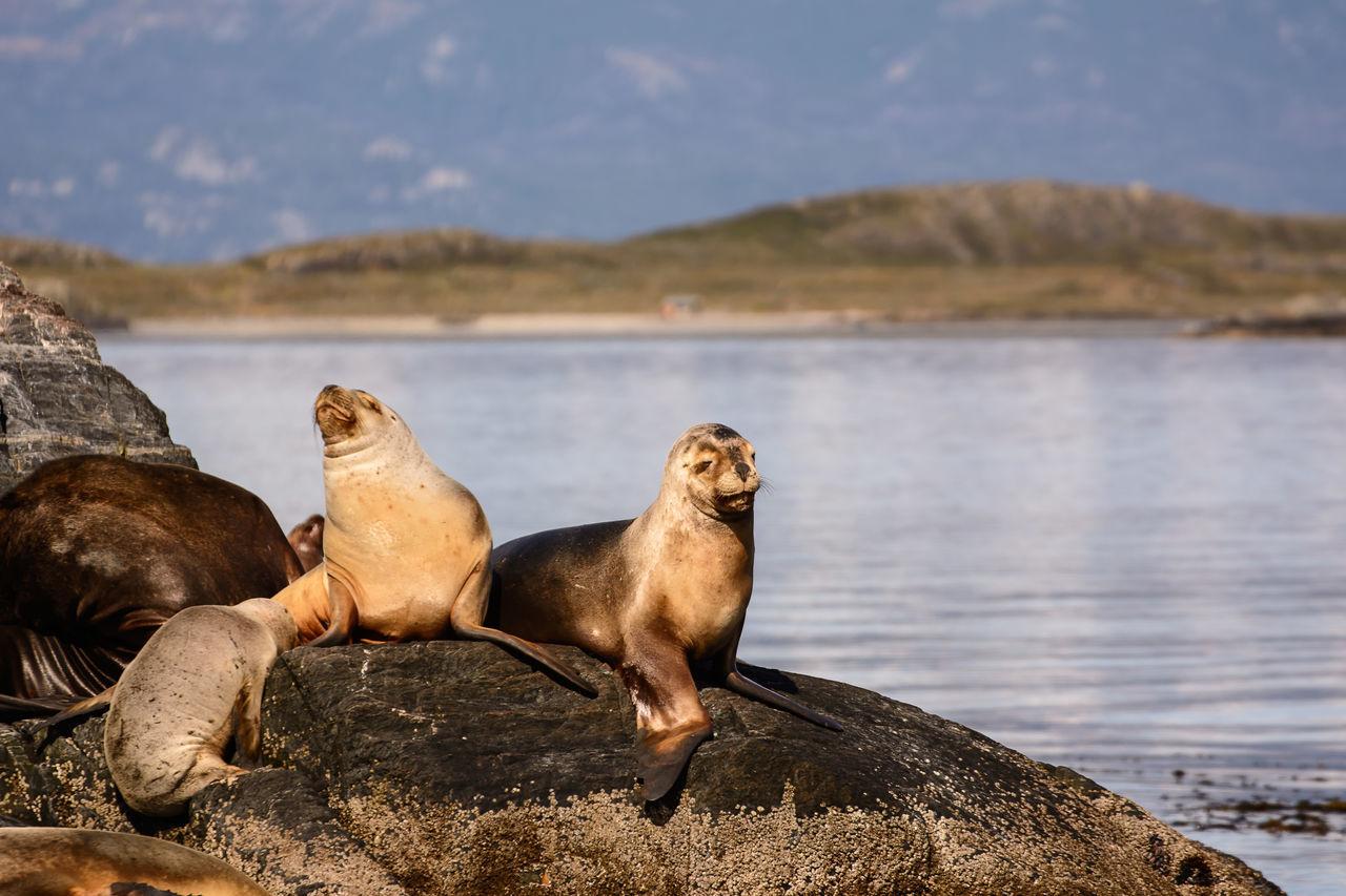 Sea lions on isla in beagle channel near Ushuaia (Argentina) Animal Argentina Beagle Channel Colony Fin Del Mundo Land Of Fire Patagonia Sea Lions Sealions Tierra Del Fuego Ushuaïa