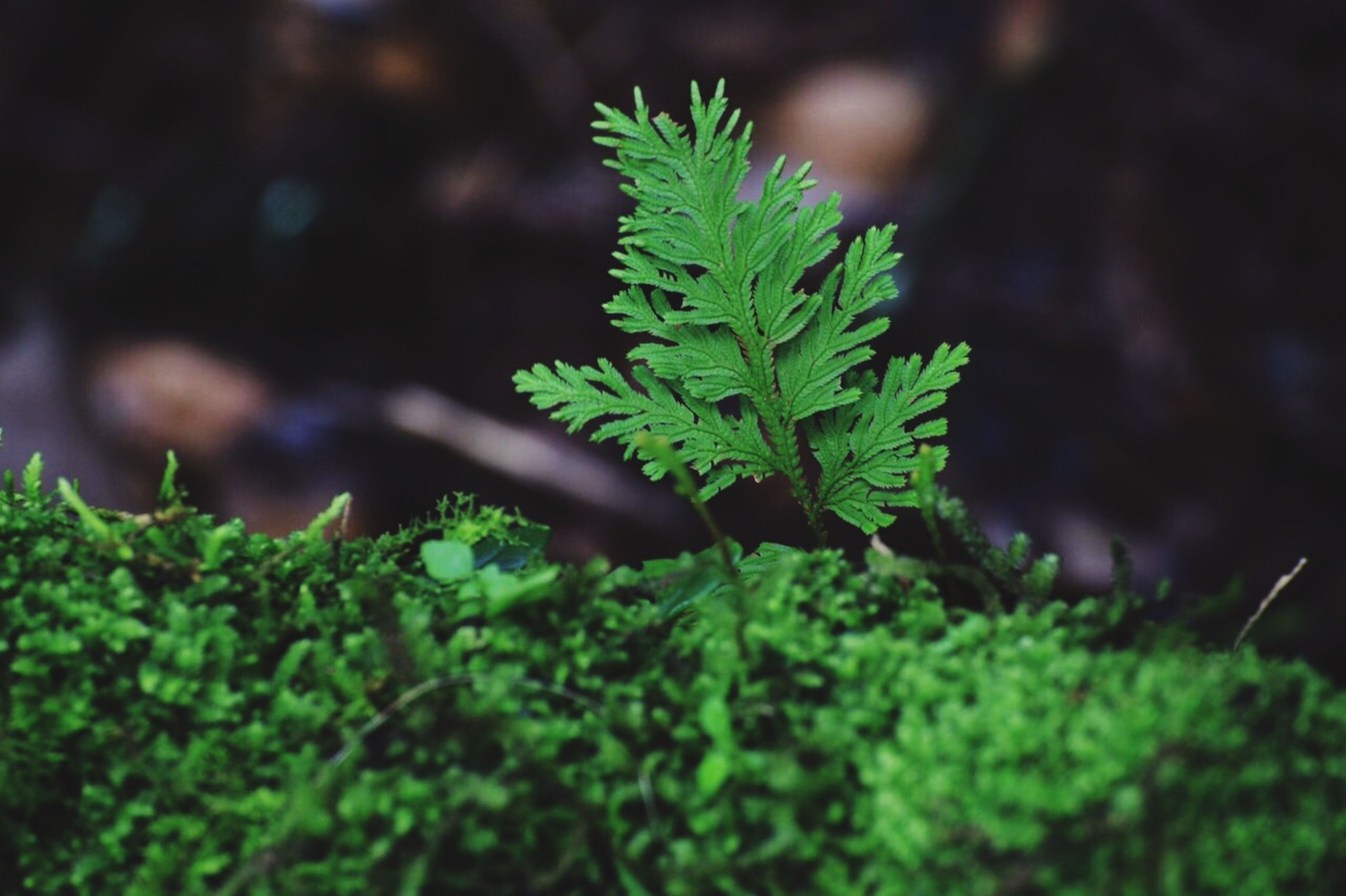 green color, leaf, growth, plant, selective focus, nature, close-up, focus on foreground, growing, green, beauty in nature, tranquility, moss, outdoors, freshness, lush foliage, day, no people, forest, sunlight