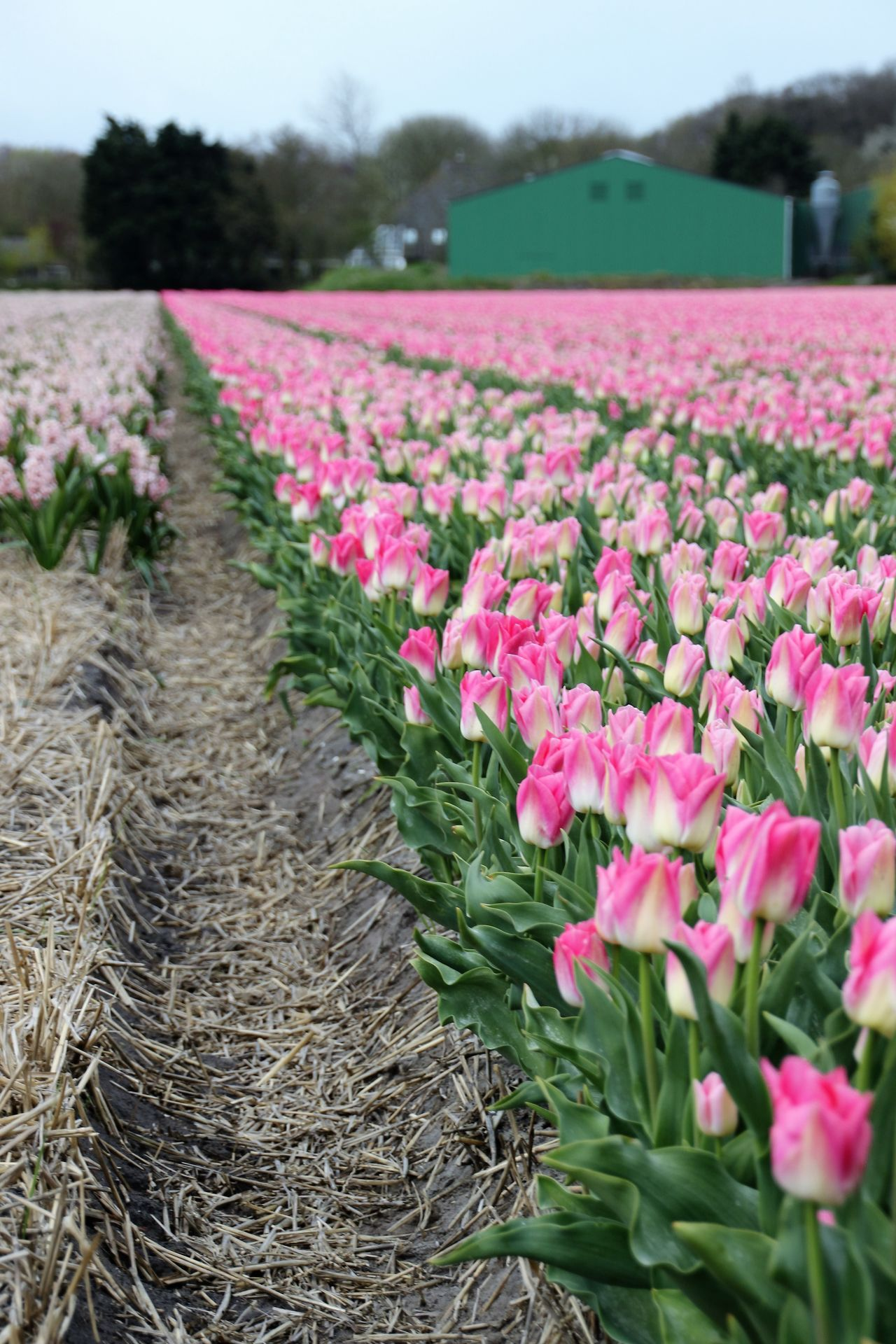 Agriculture Beauty In Nature Blossom Day Field Flower Flower Head Flowerbed Flowers Focus On Foreground Fragility Freshness Growth Landscape Nature No People Outdoors Petal Pink Color Plant Rural Scene Scenics Springtime Tullips Vertical