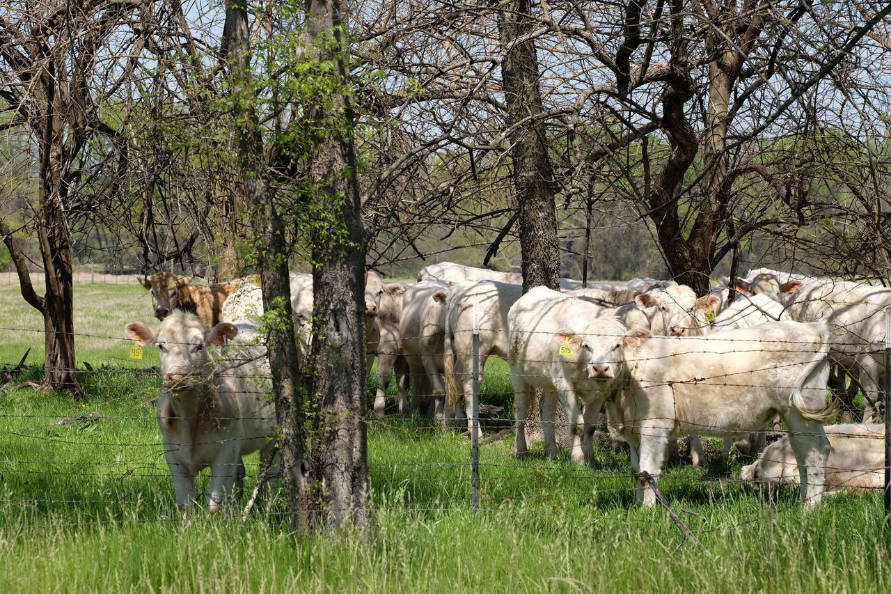 Cattle Trees herd Beef 515