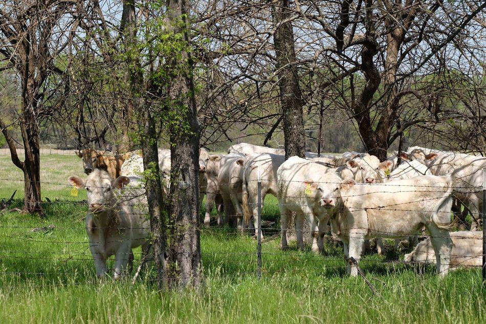 Cattle Trees herd Beef 515