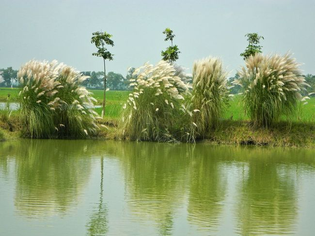 Kans Grass Wild Sugarcane Saccharum Spontaneum Wild Flowers Flowers, Nature And Beauty White Flower White Album Water_collection Water Reflections Light Reflection Negetive Space Landscapes With WhiteWall Landscape_Collection Waterscape Nature Hello World Soft Pastel  Learn & Shoot: Balancing Elements EyeEm Nature Lover Taking Photos EyeEm Gallery EyeEm Best Shots Pastel Power in Jessore, Bangladesh