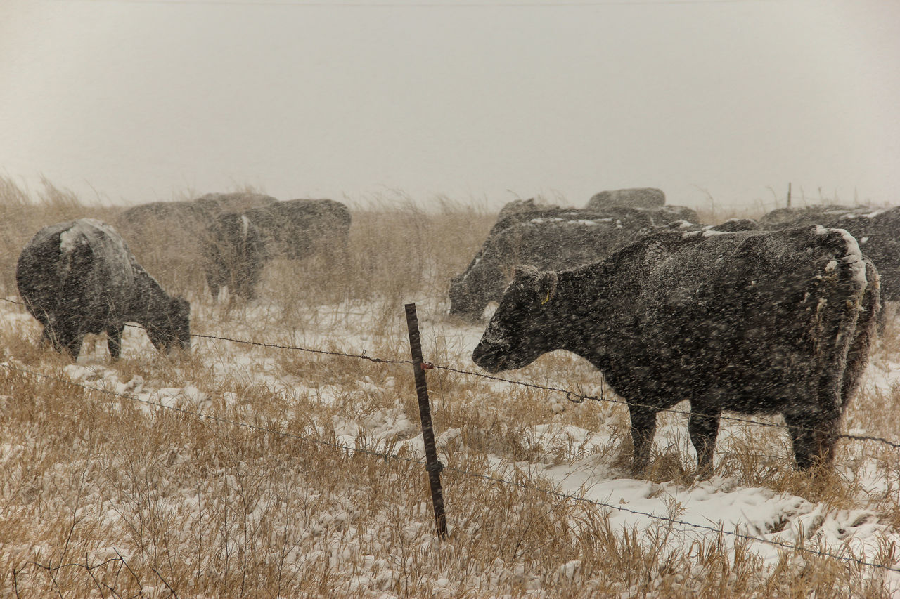 Cows in snow. Agriculture Animal Black Black Angus Canon60d Canonphotography Cattle Cold Cows Domestic Animals Farm Fence Grass Livestock Pasture Snow Snow Storm Snowing Winter