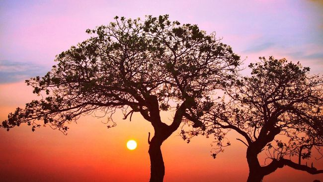 Silhouette Tree Sunset Sun Scenics Tranquil Scene Beauty In Nature Tranquility Branch Sky Orange Color Idyllic Nature Majestic Growth Cloud Kona Sunset_collection