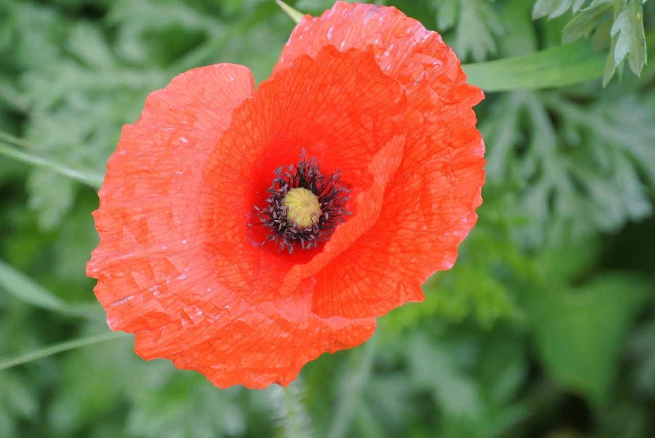 Poppy in Trapani. Flower Nature Red Petal Growth Plant Close-up Flower Head Fragility Freshness Beauty In Nature Outdoors No People Poppy Day