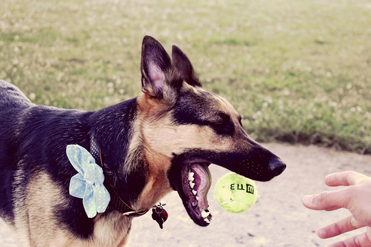 dog, pets, animal themes, domestic animals, mammal, one animal, human hand, human body part, day, real people, pet collar, one person, german shepherd, sticking out tongue, outdoors, animal tongue, close-up, nature, people
