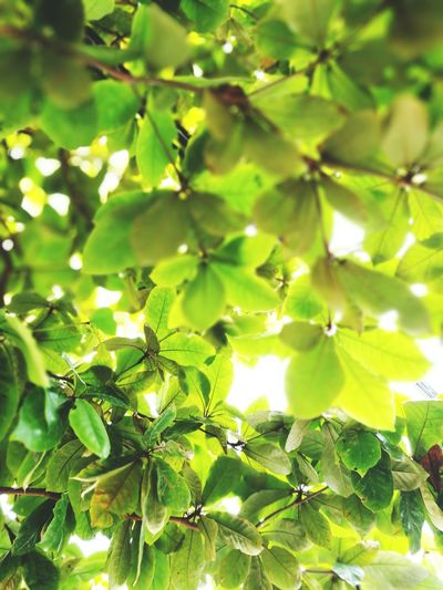Green Color Nature Growth Tree Leaf Freshness Branch Close-up Fruit Food And Drink Beauty In Nature Outdoors No People Agriculture Summer Full Frame Low Angle View Healthy Eating Day