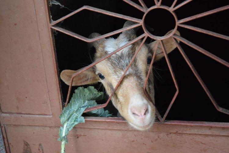 Animal Outdoors Animal Head  Farm Life Myfarm Farm Farm Animals Goat One Animal Livestock Curious Curious Goat Cute Look At Me Feeding