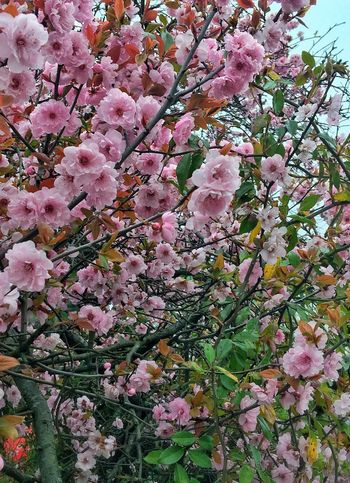 Flower Pink Color Nature Growth Freshness Beauty In Nature Petal Fragility Springtime Blossom Tree Full Frame Backgrounds No People Outdoors Pink Cherry Tree Branch Blooming Close-up Spring Spring Flowers Summer Summertime Perspectives On Nature