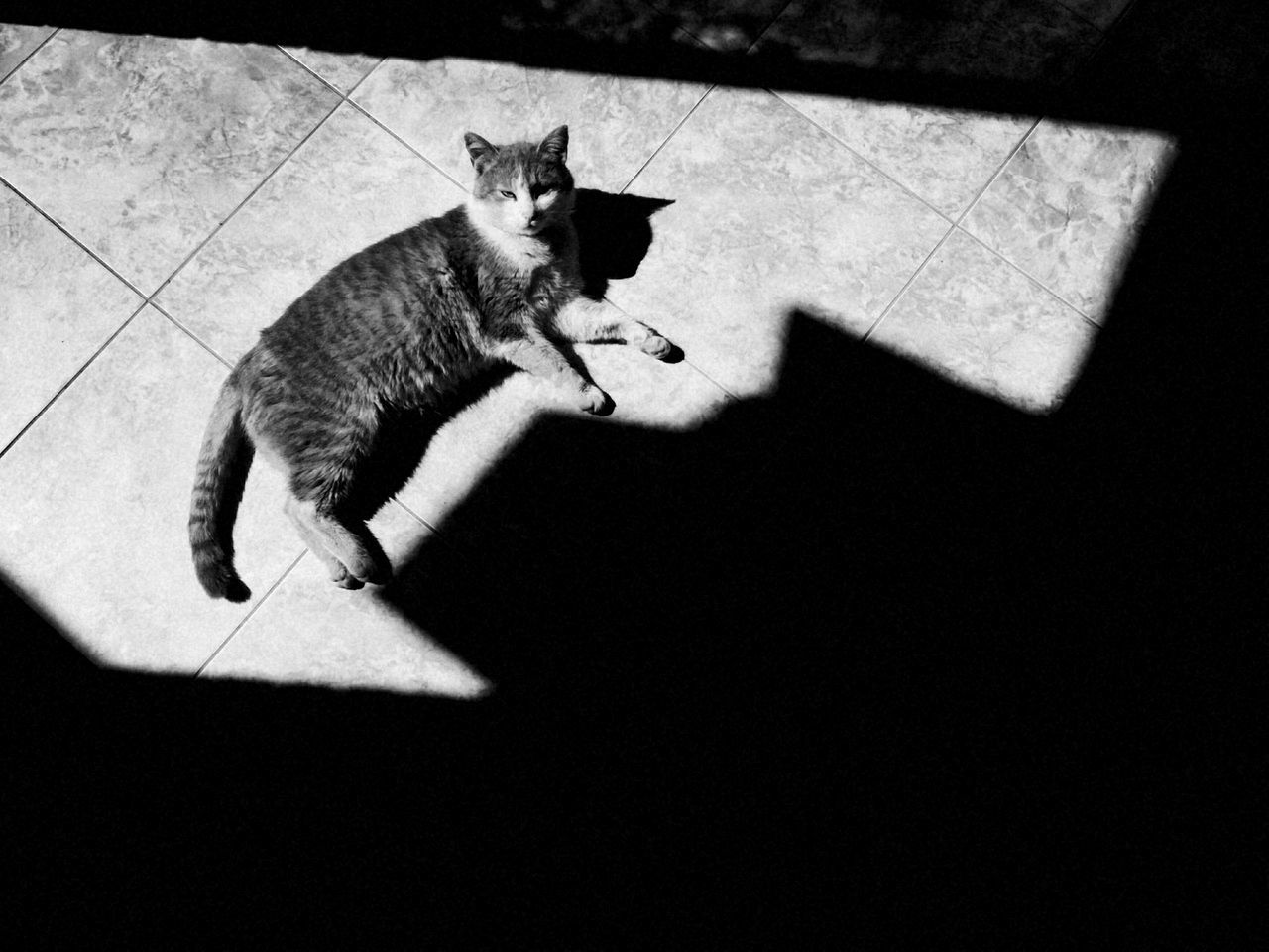 domestic cat, cat, one animal, pets, feline, mammal, animal themes, domestic animals, shadow, no people, indoors, day