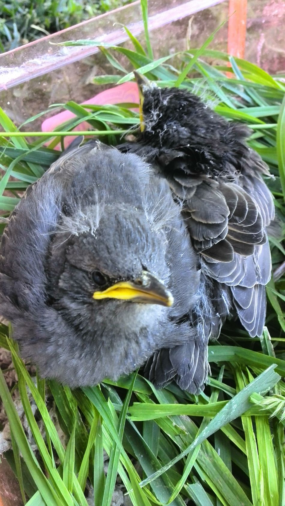 Baby Birds in human made Nest and theyre getting bigger. Nestlings The Essence Of Summer My Own Thing The Great Outdoors - 2016 EyeEm Awards The Portraitist - 2016 EyeEm Awards The Photojournalist - 2016 EyeEm Awards Showcase June