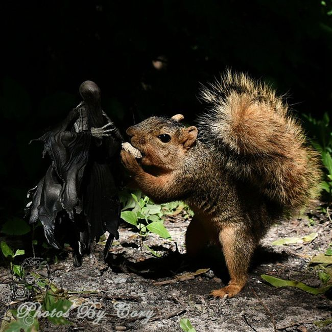 Twitchy could never pass up a free peanut....1/2 Funwiththesquirrels _tyton_ Tamd_outdoors Hellboundtoys Wildlifephotography Wildlifepark Flyingtoys