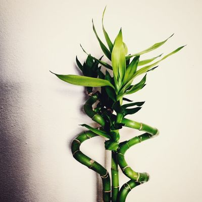 Bamboo Beauty In Nature Botany Bright Chinese New Year Close-up Freshness Green Green Color Growth Leaf Minimalism No People Plant Stem Studio Shot White Background White Wall