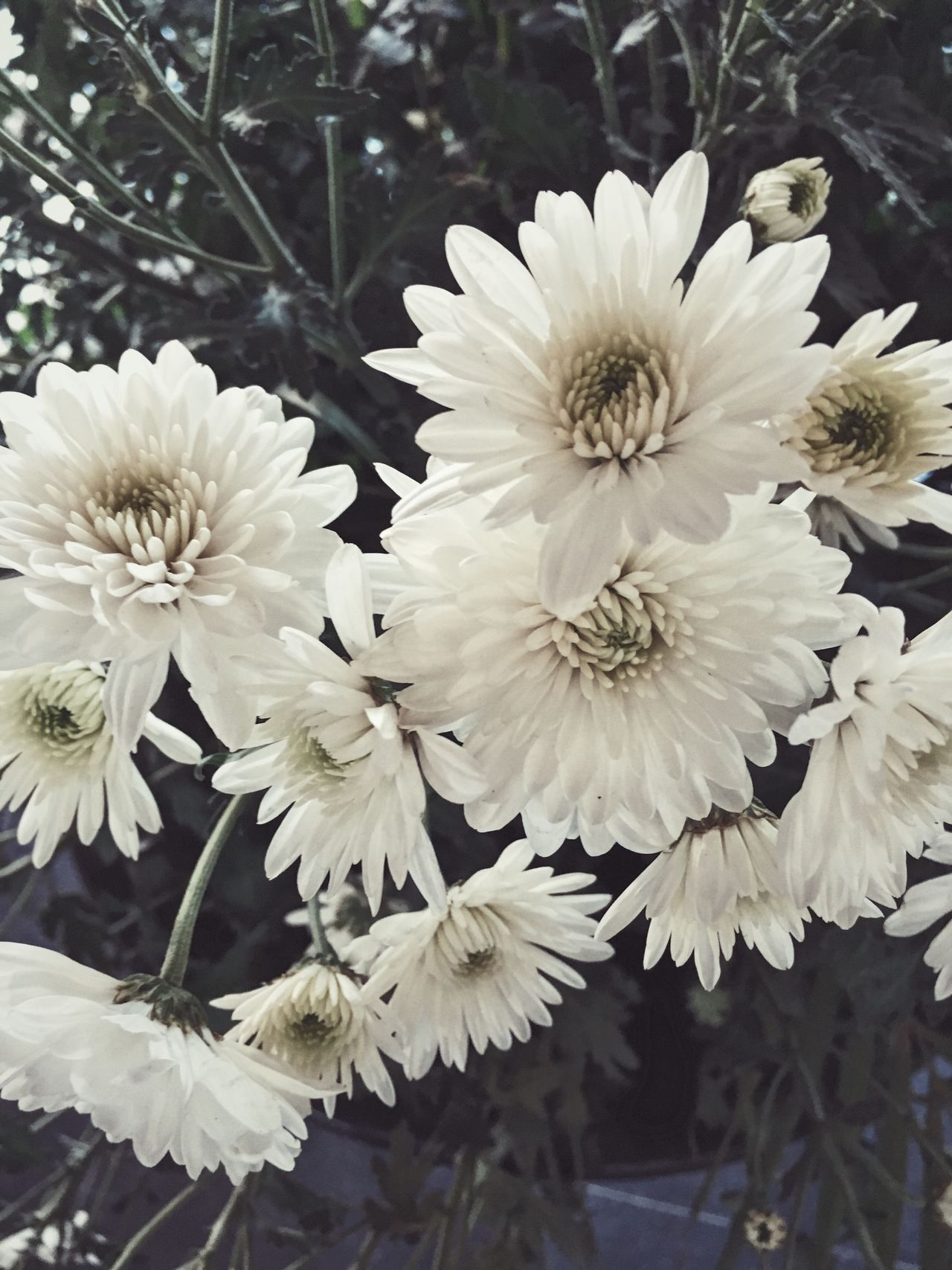Chrysanthemum IPhone Flower White Color Growth Nature Freshness Beauty In Nature Petal Flower Head Fragility Close-up No People Blooming Outdoors Day