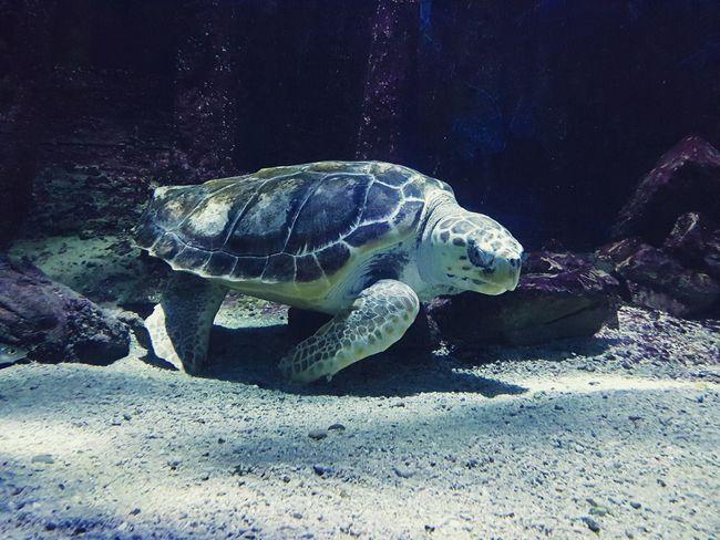 Animal Themes Water Underwater Reptile Swimming Sea Life Nature Animal UnderSea Sea Turtle