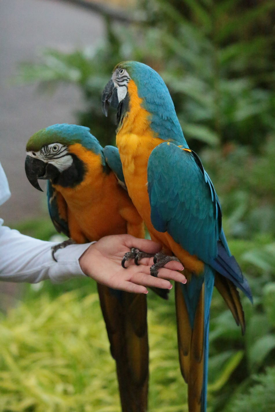 Parrot Bird Animal Wildlife Multi Colored Animal Themes Pets Close-up Gold And Blue Macaw Macaw 3XSPUnity Beautiful Nature Beauty In Nature Nature Birds Of EyeEm  Frends Cloursplash Macaw Parrot Pair Of Birds Parrots Birds Of A Feather Birds Of EyeEm