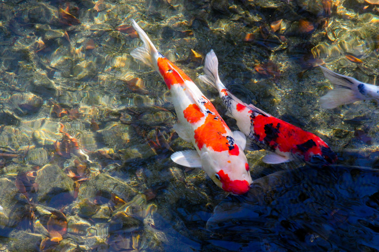 Beautiful stock photos of fish, Animal Themes, Animals In The Wild, Aquatic, Carp