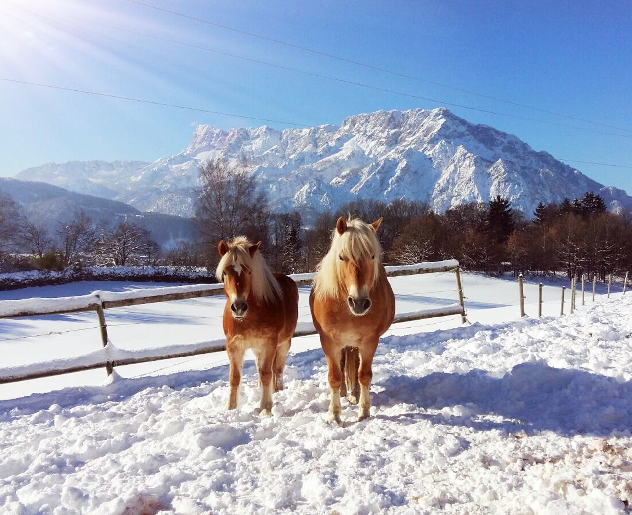 snow, winter, cold temperature, domestic animals, animal themes, nature, weather, mountain, mammal, field, day, white color, sunlight, dog, snowcapped mountain, beauty in nature, sky, scenics, outdoors, pets, landscape, frozen, mountain range, no people