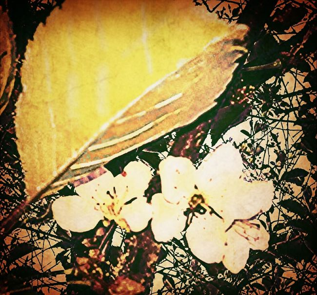 Cherry Blossoms Fun With Photo My Eye Candy Is... Photopainting