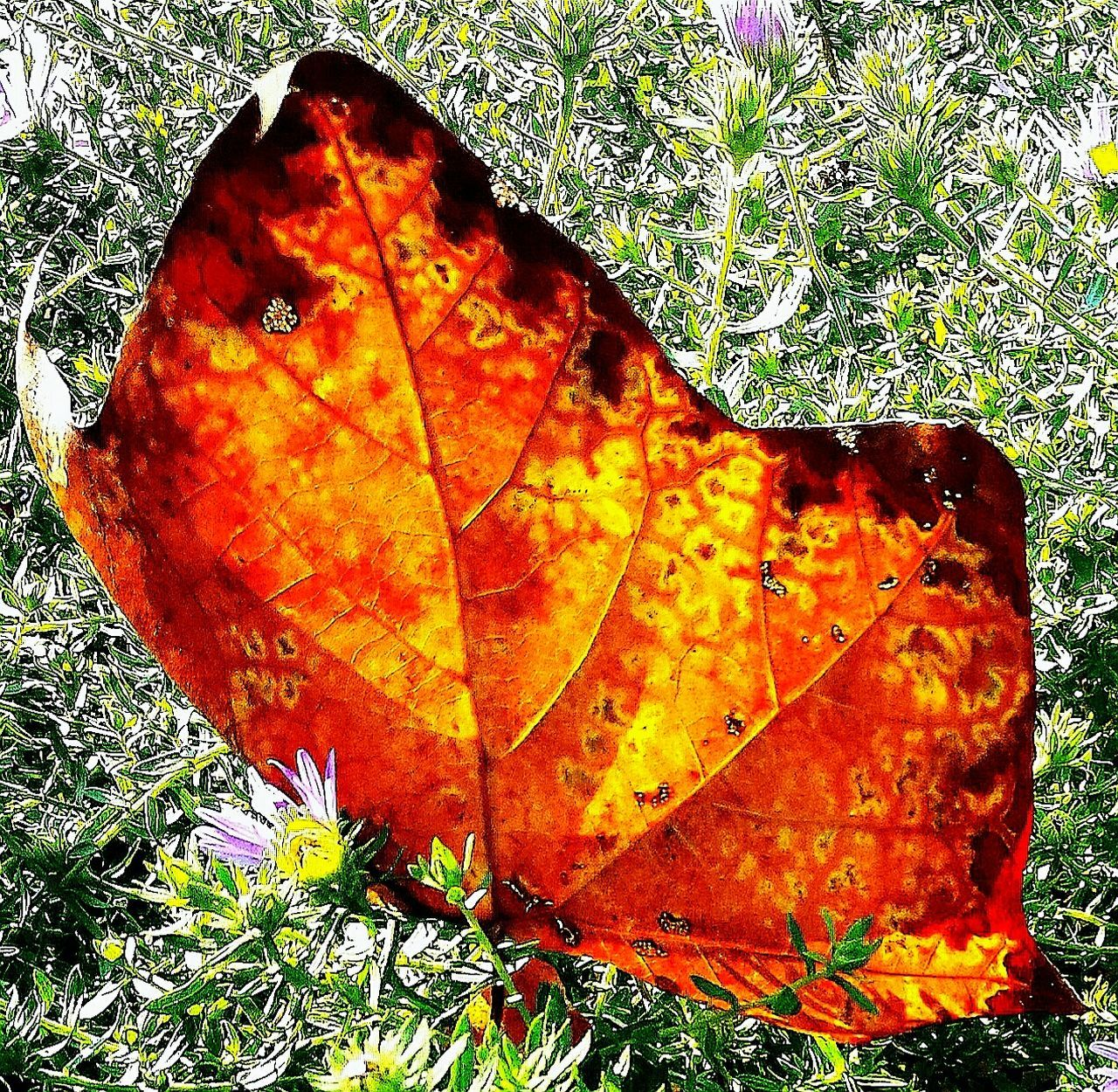 leaf, autumn, change, nature, dry, grass, close-up, day, outdoors, beauty in nature, maple leaf, no people, growth, plant, fragility, maple