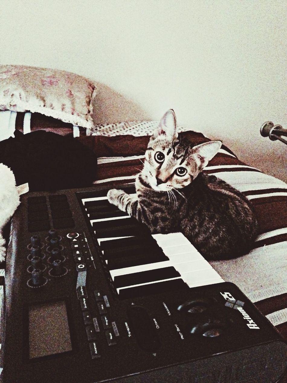 He's a natural Ocicat Cat Piano Music